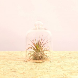 Ionantha M + campana di vetro