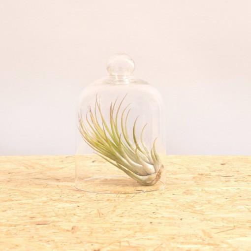 Scaposa + campana di vetro