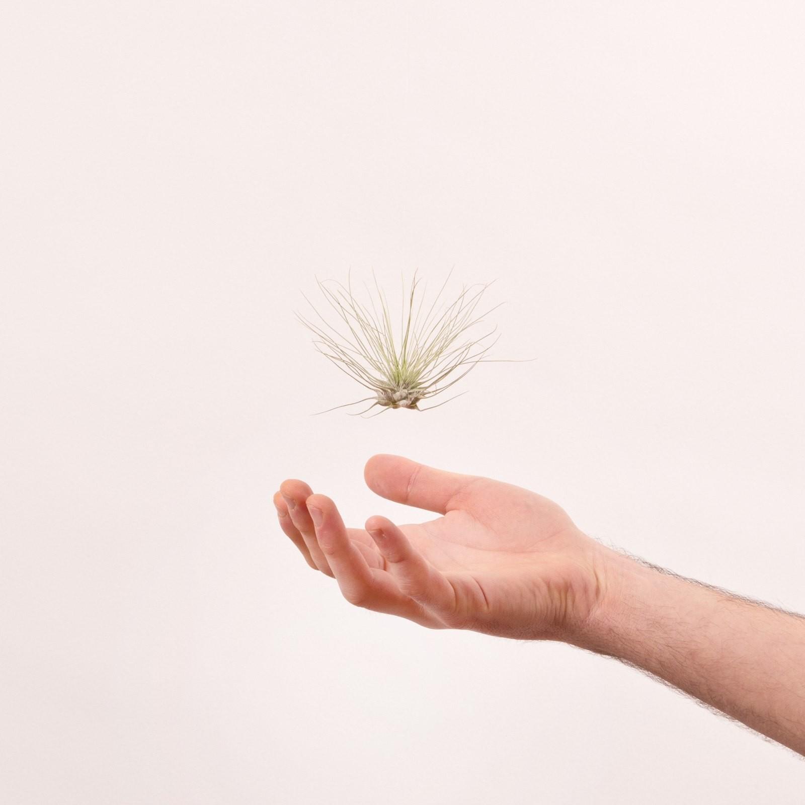 argentea tillandsia luftpflanze mit feinen silbernen bl ttern. Black Bedroom Furniture Sets. Home Design Ideas