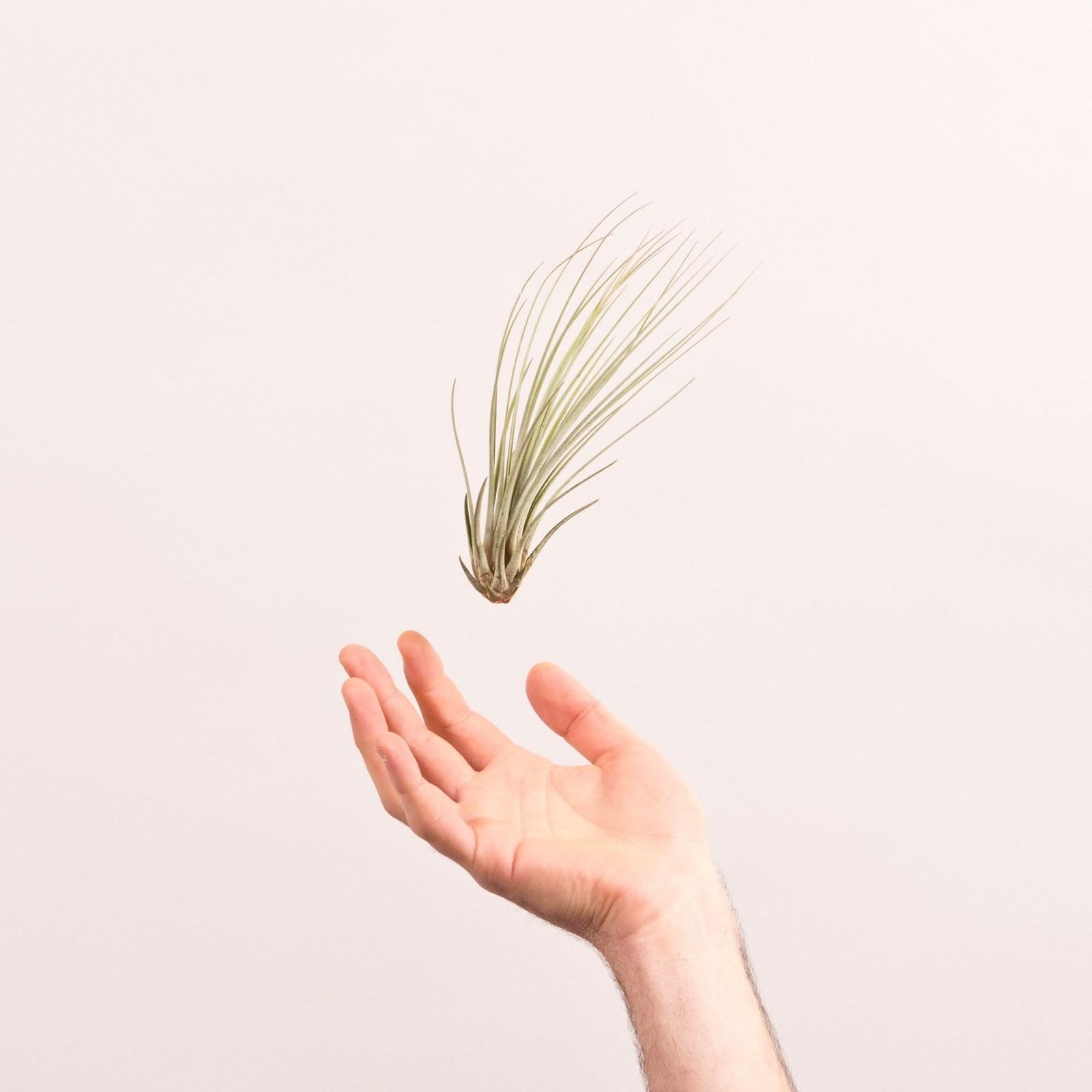 juncea luftpflanze ist sehr sch n mit langen und samtigen bl ttern. Black Bedroom Furniture Sets. Home Design Ideas